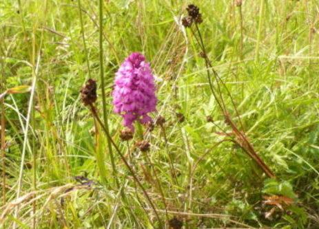 Orchidée sauvage dans la prairie